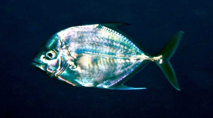 African Pompano Alectis ciliaris species guide