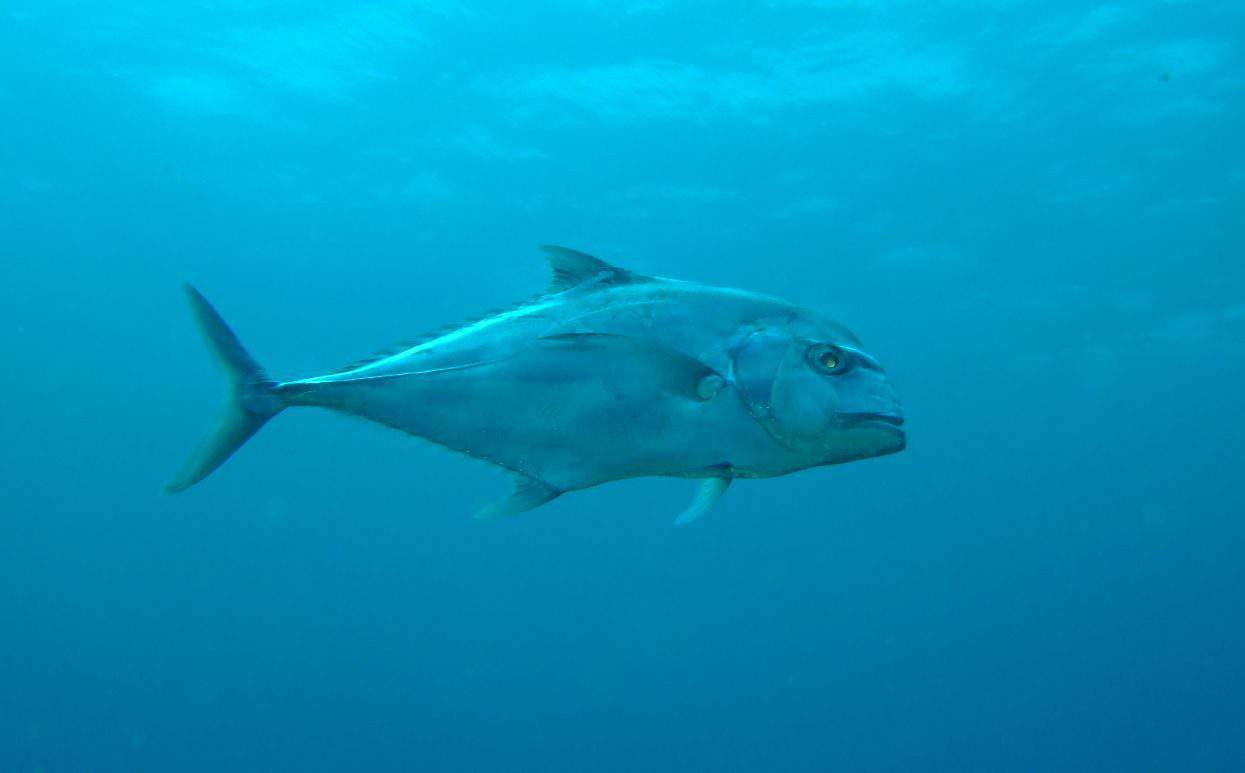 adult african pompano